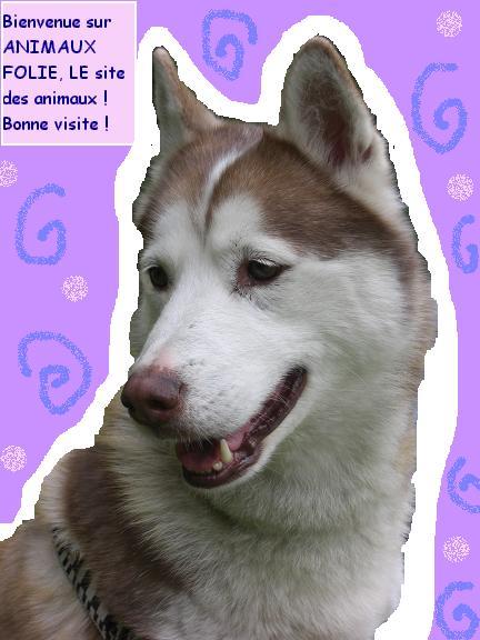 image de husky, page d`acceuil